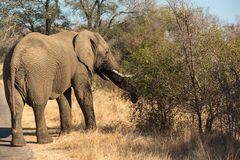 Elephant feeding from a tree Royalty Free Stock Photo