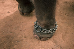 Elephant feet chained Stock Photo