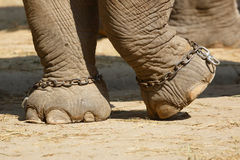 Elephant feet Royalty Free Stock Photos