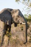 Elephant female Royalty Free Stock Image