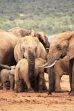 Elephant female with calf Royalty Free Stock Photography
