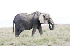 Elephant female eats grass on the African savannah Stock Photo