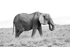 Elephant female eats grass on the African savannah Stock Photos