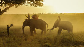 Elephant in field rice. Elephants and the farmer in field rice,performing elephant at safari stock image
