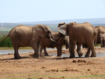 Elephant Fight Stock Image
