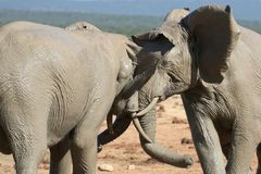 Elephant Fight Stock Images