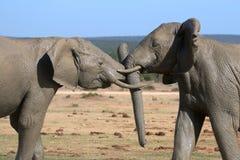 Elephant Fight Royalty Free Stock Photo