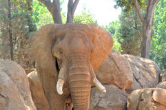Elephant flapping its ears Royalty Free Stock Images