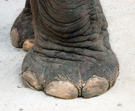 Elephant foot. Closeup of elephant foot on ground Stock Images