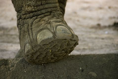 Free Elephant Foot Royalty Free Stock Image - 18366206