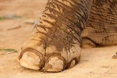 Elephant foot. Asian elephant foot on dry muddy soil Royalty Free Stock Image