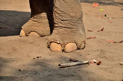 Elephant foot thailand Stock Photography