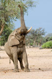 Elephant foraging high in tree. Desert-adapted elephant (loxodonta africana) foraging high in tree, Namibia Royalty Free Stock Photography