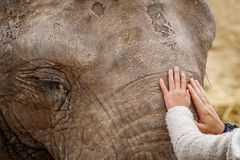Elephant forehead and eyes with child and mom hands. Long shot of elephant head with child and mom hands Royalty Free Stock Images
