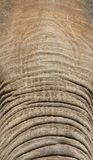 Elephant Forehead and Trunk Royalty Free Stock Photo
