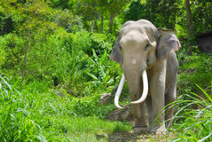 Elephant in forest Stock Images