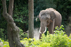 Elephant in forest Royalty Free Stock Photo
