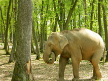 Elephant in forrest. Elephants are large mammals of the family Elephantidae and the order Proboscidea. Two species are traditionally recognised, the African Royalty Free Stock Photos