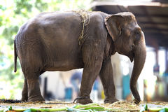 Elephant in a fram . Elephant in the depth of field under the sun light Royalty Free Stock Photo
