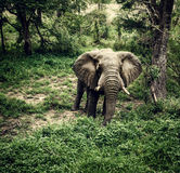 Elephant in fresh woods Royalty Free Stock Images