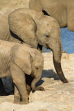 Elephant friends Royalty Free Stock Photos