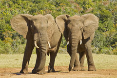 Elephant friends Royalty Free Stock Photos
