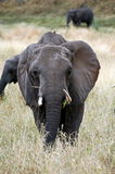 Elephant Front. From Serengeti Tanzania Royalty Free Stock Images