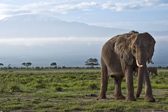 Elephant in front of Kilimanjaro Stock Photography