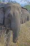 Elephant front Stock Photography