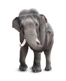 Elephant front view with clipping path
