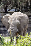 Elephant Frontal Royalty Free Stock Photos