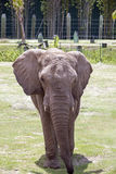 Elephant Full Frontal Royalty Free Stock Images