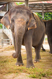 Elephant in full growth Stock Images