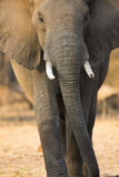 Elephant gait. Front view portrait of an African Elephant bull Royalty Free Stock Photos