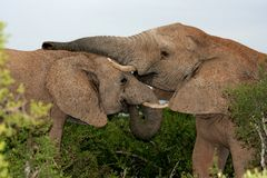 Elephant Games. Two African Elephants play fighting in the Addo bush Royalty Free Stock Photos