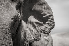 Elephant Gap Ear. A black and white headshot of an Elephant taken in the Addo Elephant Reserve, Western Cape, South Africa royalty free stock photography