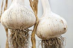 Elephant Garlic Stock Images