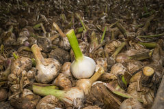 Elephant garlic curing on a wagon royalty free stock images