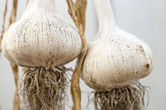 Elephant garlic stock images