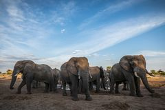 Elephant gathering at a waterhole royalty free stock images