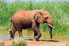 Elephant gets out of a lake Royalty Free Stock Image