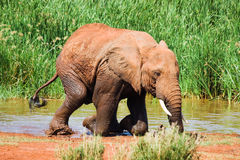 Elephant gets out of water Stock Photo