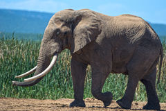 Elephant Giant Side View Royalty Free Stock Photography