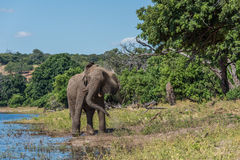 Elephant giving itself dust bath beside river Royalty Free Stock Images