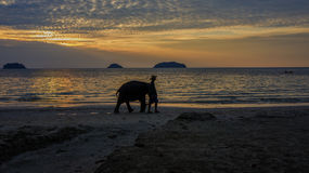 Elephant going at sunset among the beach Royalty Free Stock Images