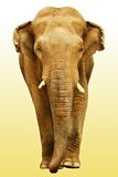 The elephant going towards. (with clipping path Royalty Free Stock Photo
