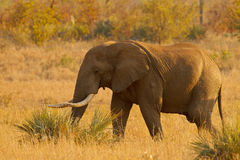 Elephant in golden light. Large bull elephant in Kruger National Park, South Africa illuminated by the setting sun Stock Photos