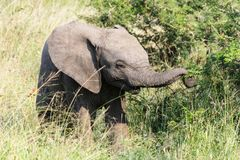 Elephant grabbing some branches from a small tree. stock photo