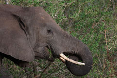 Elephant grasing Royalty Free Stock Photography