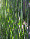 Elephant Grass Stock Images